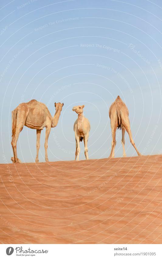 Kamele, Vereinigte Arabische Emirate, Dubai, Abu Dhabi Dromedar Golfstaat Außenaufnahme Menschenleer Tier Nutztier Düne Stranddüne Sand Sonne Tourismus
