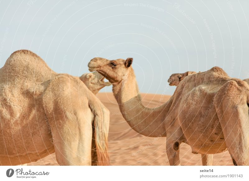 Kamele, Vereinigte Arabische Emirate, Dubai, Abu Dhabi Dromedar Fokus auf den Vordergrund Golfstaaten horizontal Außenaufnahme Menschenleer Tier Nutztier Düne