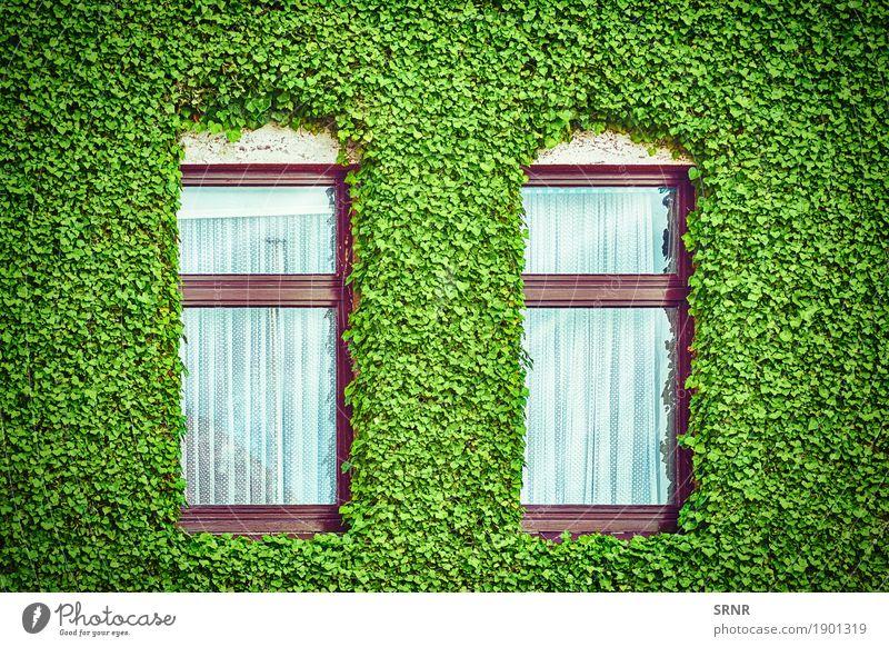 Windows unter Efeu Pflanze grün Haus Architektur Gebäude Fassade Wohnung heimwärts Gardine üppig (Wuchs) Kletterpflanzen Domizil sprießen Fensterrahmen
