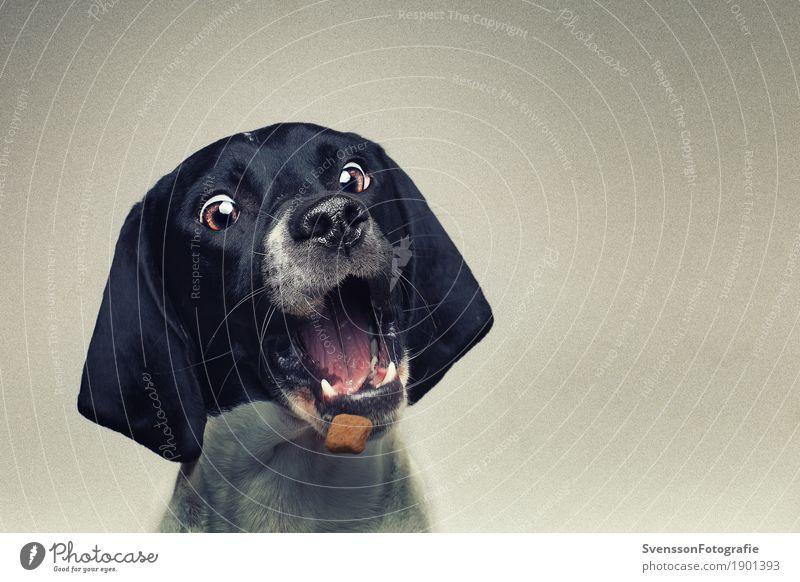 Hund schnappt Leckerchen Tier Haustier Tiergesicht 1 Essen Fressen füttern sitzen Spielen Freude Farbfoto Studioaufnahme Textfreiraum rechts Blitzlichtaufnahme