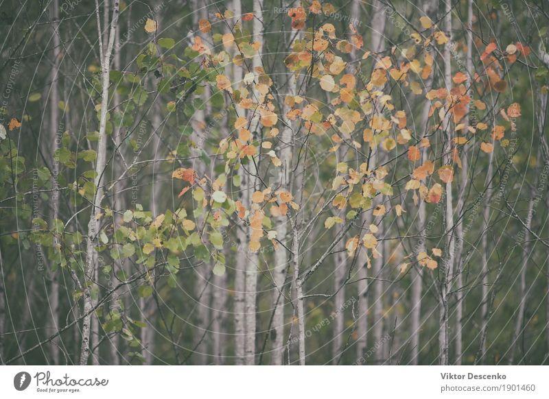 Herbstlaub auf den dünnen Bäumen Design schön Kunst Umwelt Natur Landschaft Pflanze Baum Blatt Park Wald alt hell natürlich gelb gold rot Farbe fallen