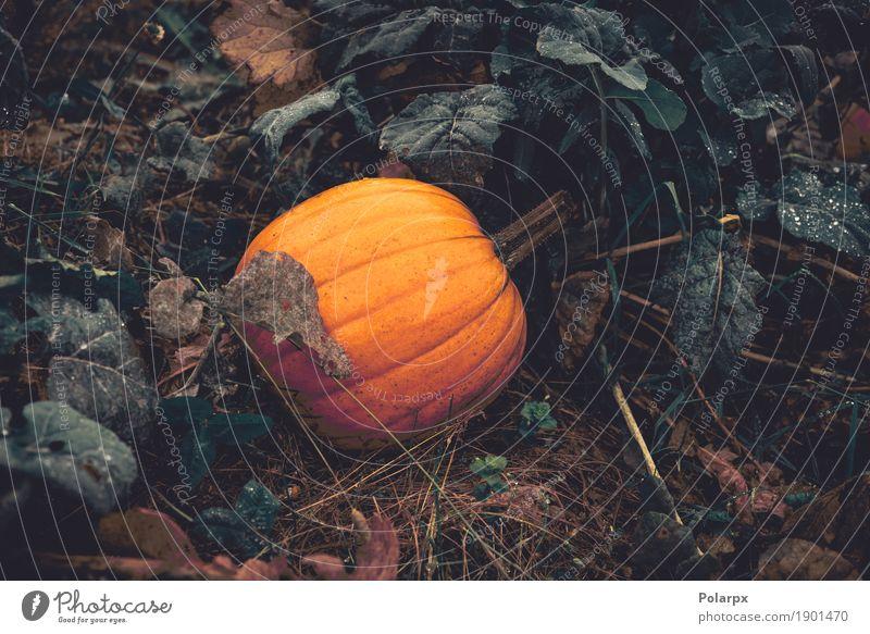 Orange Kürbis in einem Garten Natur Pflanze Farbe grün Blatt gelb Herbst natürlich Frucht Wachstum Dekoration & Verzierung frisch Jahreszeiten Gemüse Bauernhof