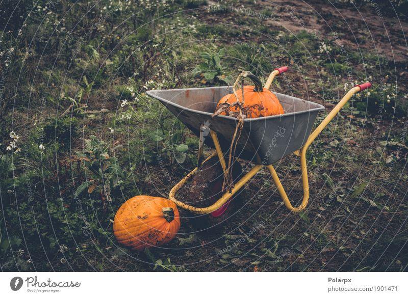 Kürbisernte mit einer Schubkarre Natur Pflanze grün gelb Herbst natürlich Gras klein Garten Menschengruppe Arbeit & Erwerbstätigkeit Frucht Wachstum