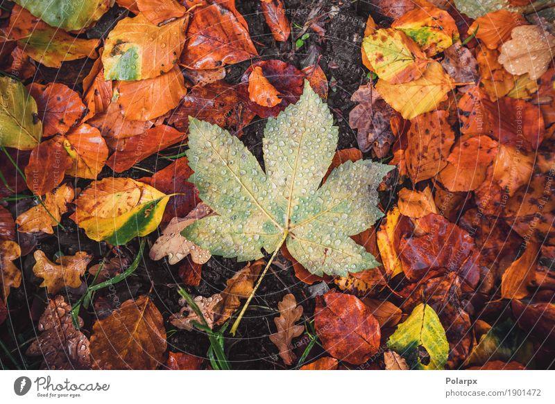 Herbst Ahornblatt in einem Wald schön Sonne Garten Dekoration & Verzierung Umwelt Natur Landschaft Pflanze Baum Blatt Park nass natürlich braun gelb gold grün