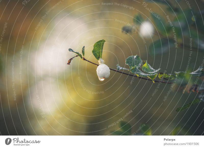 Snowberry, der an einem kleinen Zweig mit einem Tröpfchen hängt Frucht Schnee Garten Dekoration & Verzierung Umwelt Natur Pflanze Herbst Wetter Baum Sträucher