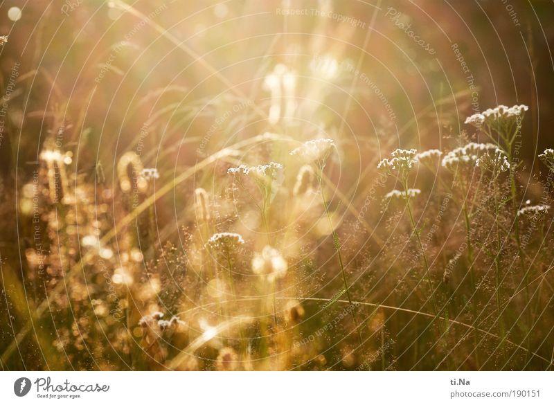 Sommer Sonne Sonnenschein Umwelt Natur Landschaft Klima Schönes Wetter Pflanze Gras Sträucher Wiese Blühend glänzend Wachstum authentisch hell natürlich Wärme