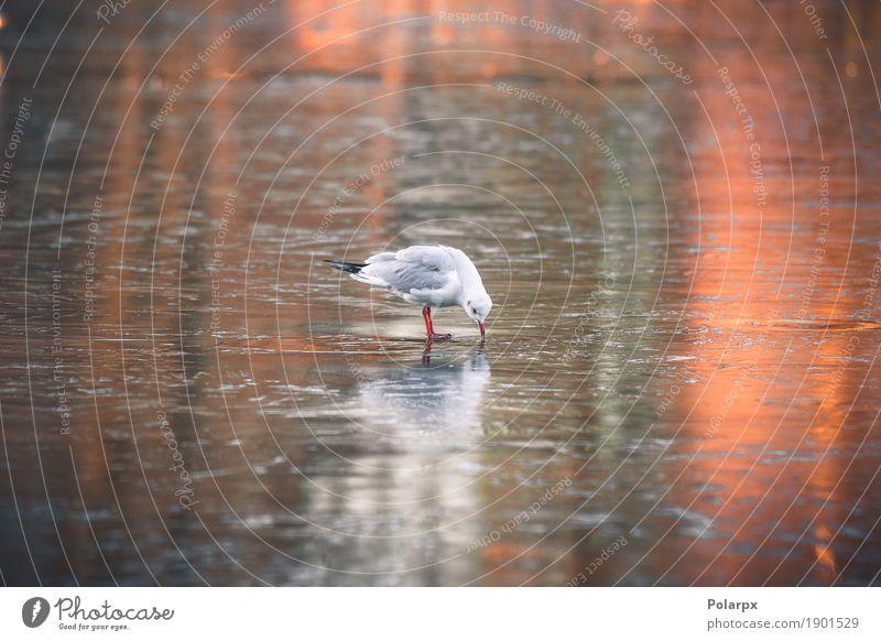 Seemöwe, die nach Lebensmittel auf einem gefrorenen See sucht schön Meer Winter Natur Landschaft Tier Himmel Herbst Wetter Park Küste Vogel Bewegung fliegen