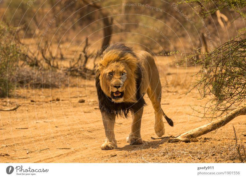 Aus dem Weg...!!! Umwelt Natur Urelemente Erde Sand Frühling Sommer Herbst Sträucher Wüste Afrika Tier Wildtier Tiergesicht Pfote Fährte Löwe Löwenmähne