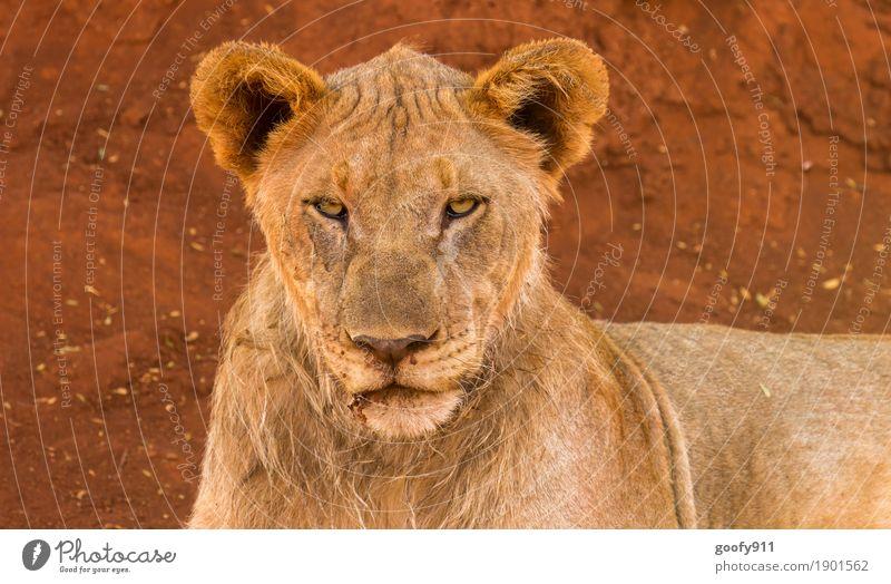 Böse Blick!!! Umwelt Natur Erde Sand Frühling Sommer Herbst Wüste Afrika Tier Wildtier Tiergesicht Fell Löwe Löwenkopf 1 Stein beobachten Erholung liegen
