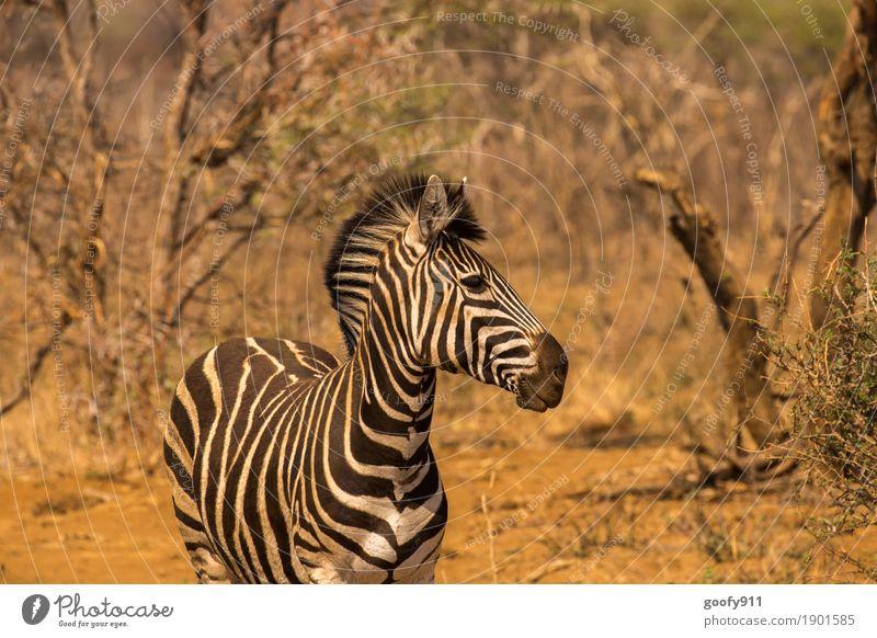 Zebra!!! Natur Sommer Baum Landschaft Tier Wärme Umwelt Herbst Frühling Stein Sand Erde elegant Wildtier ästhetisch stehen
