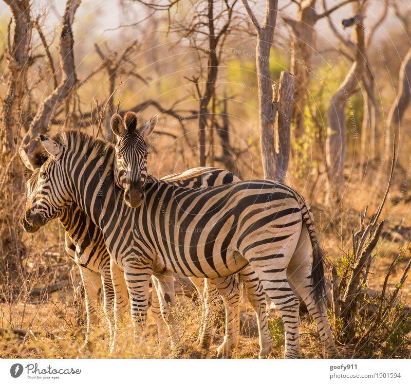 Kuschelig!!! Umwelt Natur Urelemente Erde Sand Frühling Sommer Herbst Wärme Dürre Baum Sträucher Wüste Afrika Tier Wildtier Tiergesicht Zebra Zebrastreifen 3