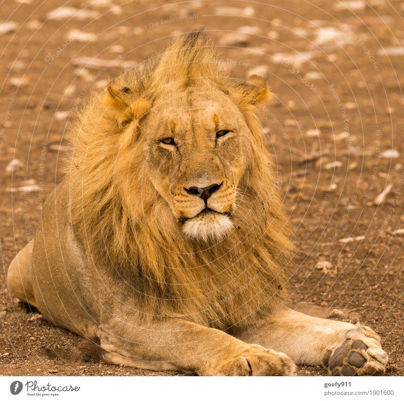 Was willst Du von mir??? Umwelt Natur Landschaft Erde Sand Frühling Sommer Herbst Wärme Dürre Wüste Afrika Tier Wildtier Tiergesicht Fell Pfote Fährte Löwe