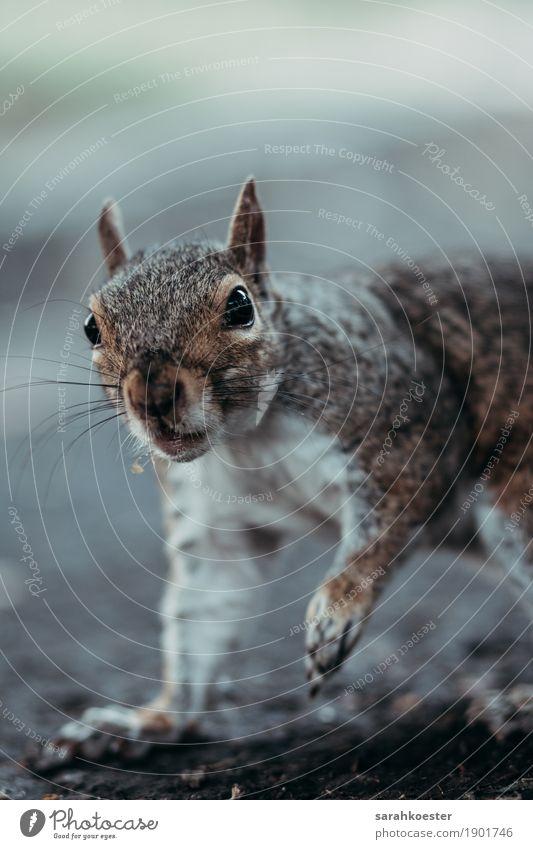 Neugieriges Eichhörnchen Nuss Park Tier Wildtier 1 beobachten Essen außergewöhnlich exotisch frei nah braun Lebensfreude Frühlingsgefühle Tierliebe