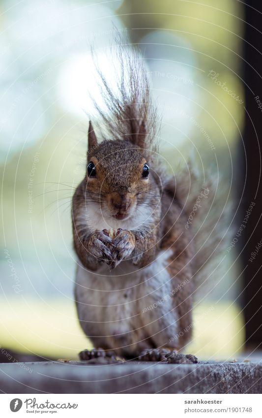 Eichhörnchen mit Nuss Tier Umwelt Essen Glück außergewöhnlich Lebensmittel braun wild Park Zufriedenheit beobachten niedlich berühren Freundlichkeit Neugier