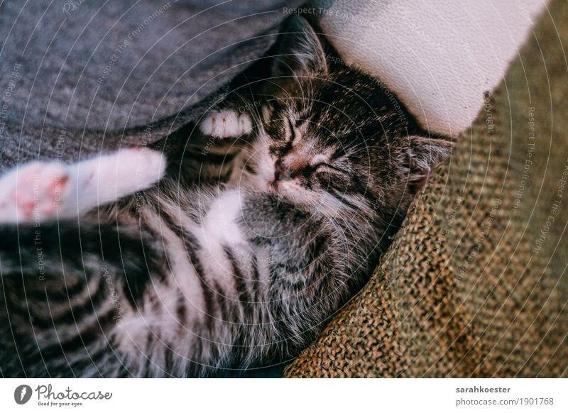 Schlafendes Kätzchen Tier Haustier Katze Fell 1 Tierjunges Erholung liegen schlafen Fröhlichkeit Glück schön grau schwarz weiß Zufriedenheit Coolness