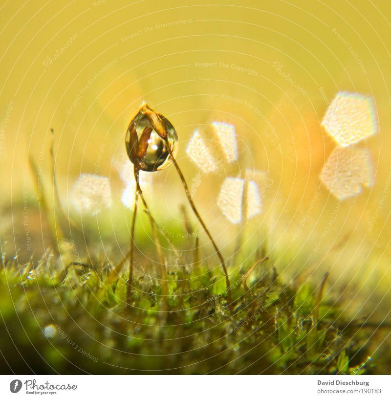 Feuchte Freundschaft harmonisch Natur Pflanze Wasser Wassertropfen Frühling Sommer Moos gelb gold grün silber Halm Moosteppich feucht Tau Kugel Farbfoto