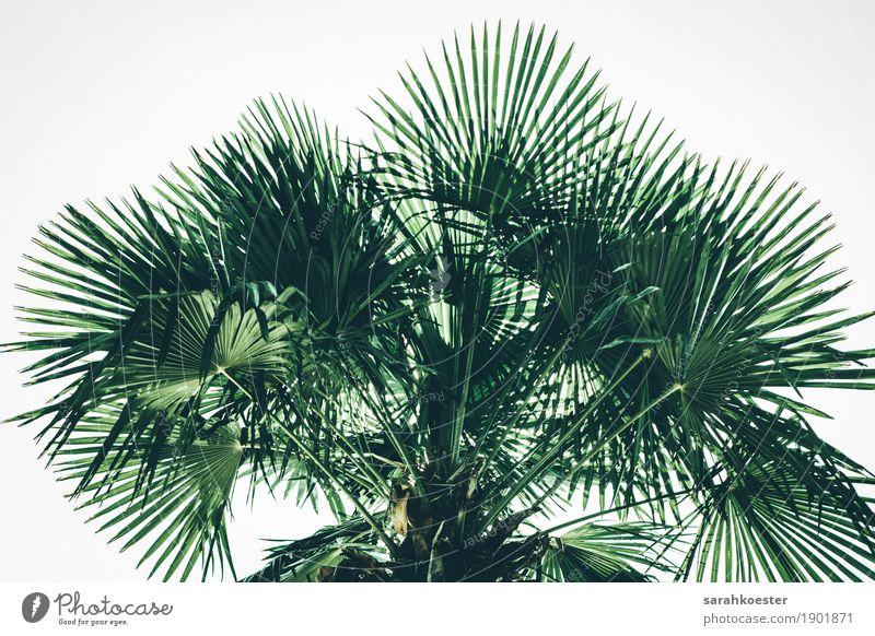 Palmen / Palmtree Natur Ferien & Urlaub & Reisen Pflanze Sommer Baum Erholung Blatt Umwelt Küste See Tourismus Zufriedenheit Ausflug Klima Abenteuer Italien