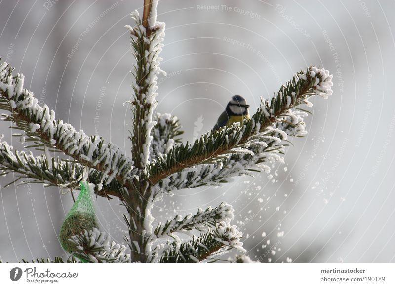 Blaumeise Natur weiß Baum blau Winter schwarz Tier gelb kalt Schnee Freiheit Schneefall Vogel warten sitzen