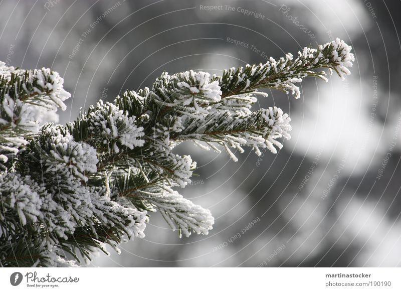 Tannenzweig Natur weiß Baum Pflanze Winter schwarz Umwelt kalt Schnee authentisch Schönes Wetter Leichtigkeit Nadelbaum Wildpflanze
