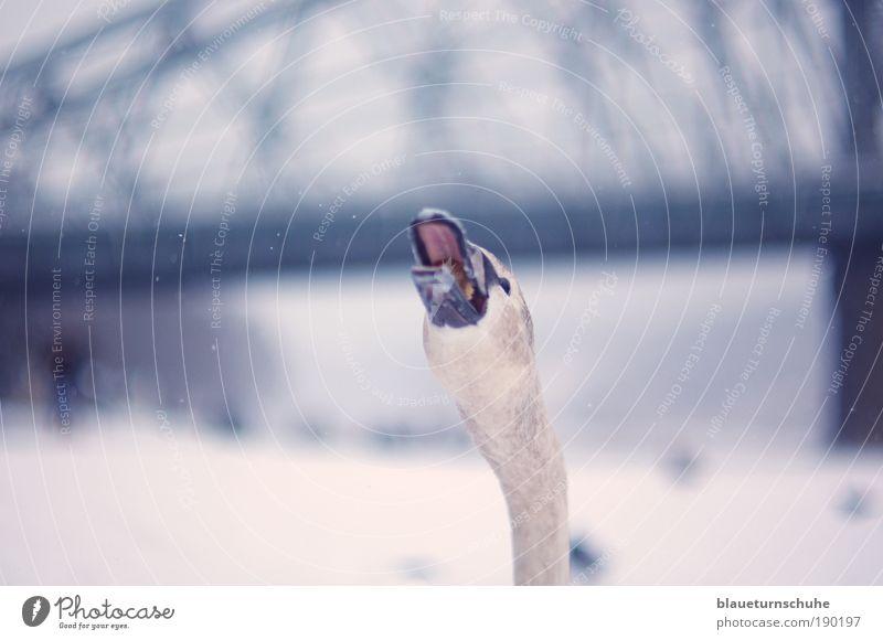 Der erlebt sein blaues Wunder! weiß blau Stadt Tier Schnee Deutschland Kraft Brücke gefährlich Europa Wildtier Tiergesicht nah Dresden Mut Sachsen