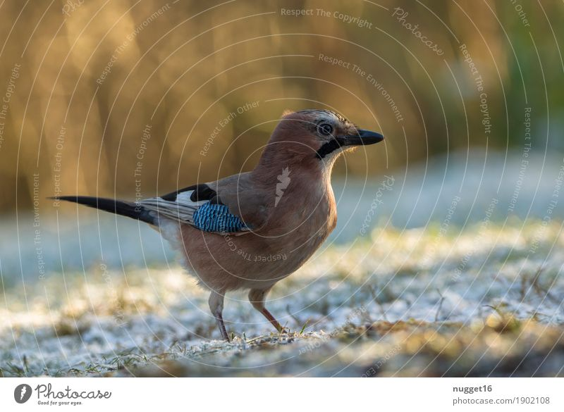 Eichelhäher Natur blau grün schön weiß Tier Winter schwarz gelb Herbst Wiese Gras Schnee Garten braun Vogel