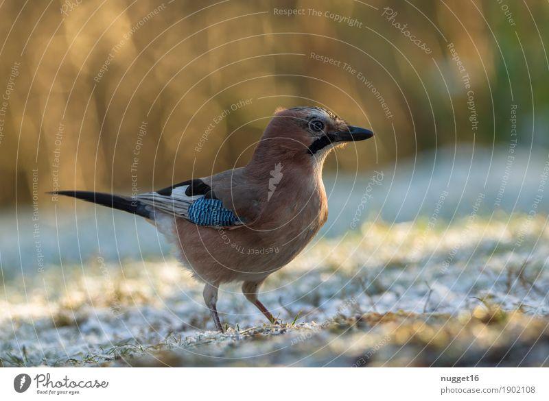 Eichelhäher Natur Tier Sonnenlicht Herbst Winter Schönes Wetter Eis Frost Schnee Gras Garten Park Wiese Wildtier Vogel Tiergesicht Flügel 1 beobachten stehen
