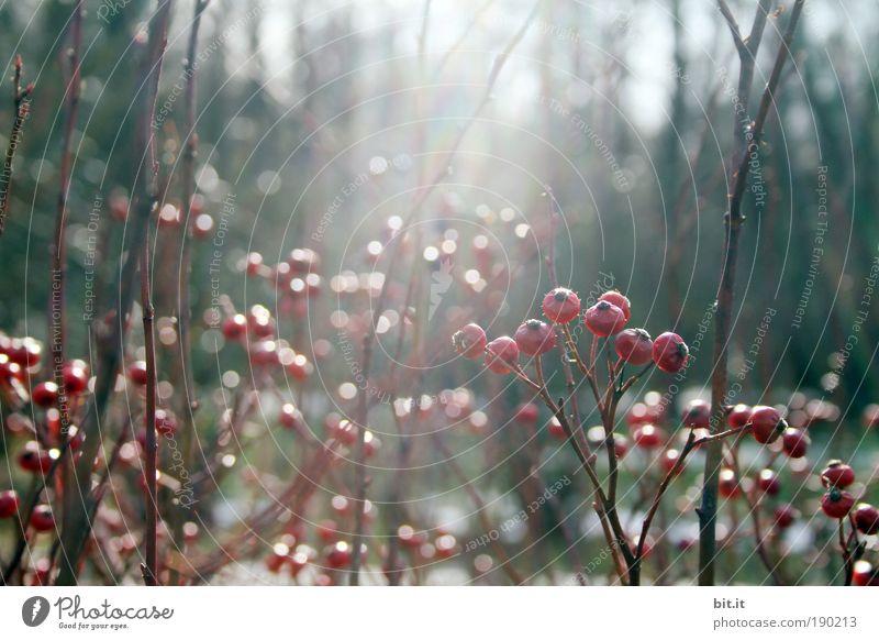 PUNKT, PUNKT, BEERE, STRAUCH Pflanze rot Winter Wald Garten Park glänzend Wachstum Sträucher Kitsch Blühend Duft frieren Beeren verblüht Waldlichtung