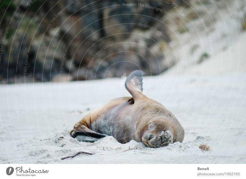 Seelöwe schläft an Strand in Neuseeland Natur liegen schlafen maritim wild exotisch Umwelt Tier Robben feminin Fell Tierporträt Felsen Seehund Küste Flosse