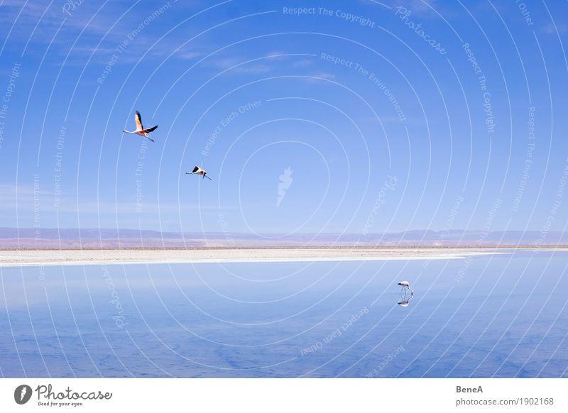 Flamingos fliegen und stehen an einem Salzsee in der Atacama Abenteuer Ferne Safari Expedition Umwelt Natur Tier Wasser Himmel Wolkenloser Himmel