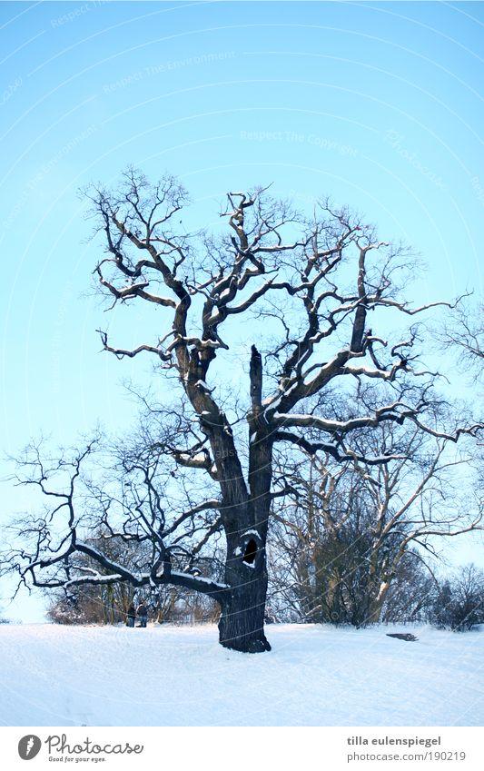 I Natur Winter Baum Park alt authentisch kalt wild blau Klima kahl frisch Ast Schnee Außenaufnahme Menschenleer Textfreiraum oben Textfreiraum unten Tag