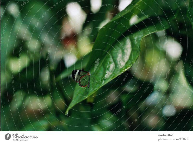 Schmetterling durchsichtig klein grün Blatt Baum Verkehr exotisch sitzen