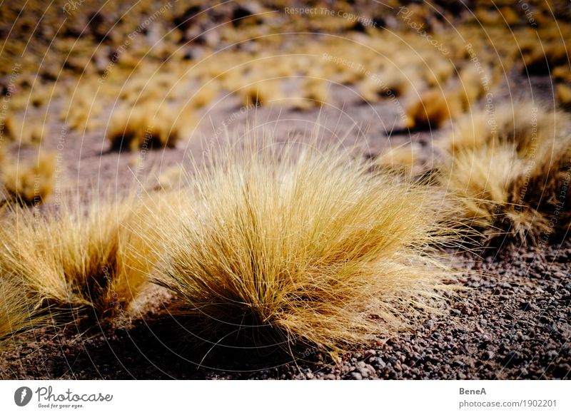 Gras wächst auf sandigem Boden in der Wüste Umwelt Natur Landschaft Pflanze Sträucher Moos Wildpflanze exotisch Hügel Berge u. Gebirge Anden Vulkan