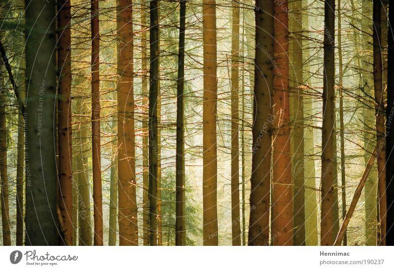 Zwischentöne. Natur Winter Nebel Baum Wald Holz Linie Wachstum Duft lang dünn braun gelb gold grün ruhig Energie Farbe Klima Ferne stagnierend Umwelt