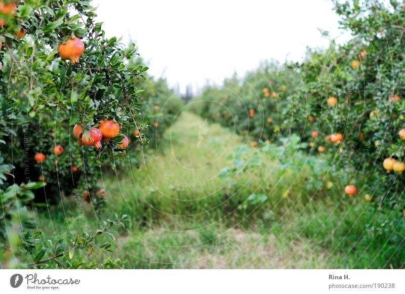 Granatapfelallee grün schön Baum rot Pflanze Tod Herbst Garten Frucht Wachstum süß Macht rein genießen lecker reif