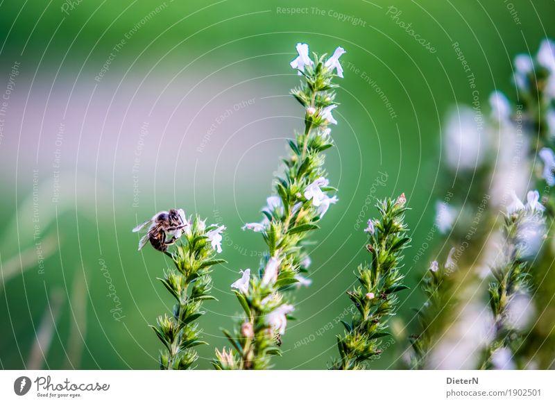 Bergsteiger Pflanze Blume Blüte Tier Biene 1 grün rosa weiß Kräuter & Gewürze Farbfoto mehrfarbig Außenaufnahme Makroaufnahme Menschenleer Textfreiraum links