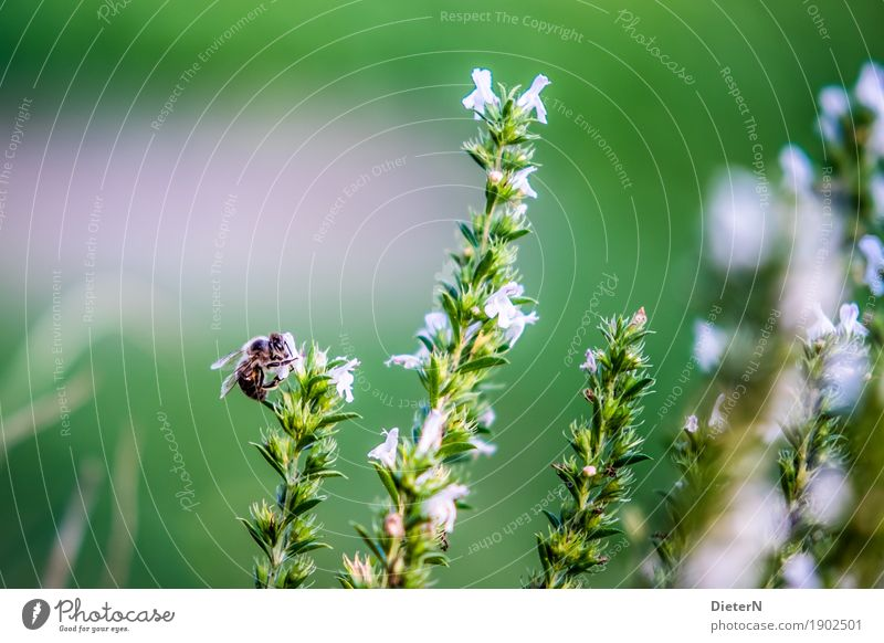Bergsteiger Pflanze grün weiß Blume Tier Blüte rosa Kräuter & Gewürze Biene