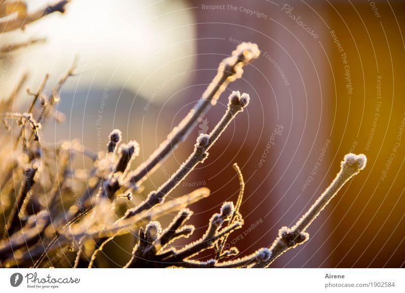 tiefgefroren Pflanze Sonnenlicht Winter Schönes Wetter Eis Frost Sträucher Zweige u. Äste Garten Eiskristall Raureif frieren glänzend kalt positiv braun gold