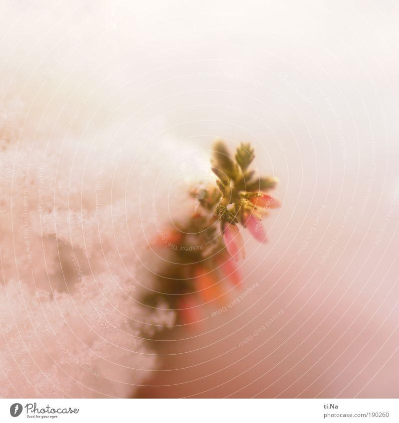 Winterschlaf Natur Wasser weiß Pflanze kalt Schnee Garten Landschaft rosa Umwelt Sträucher Klima natürlich Urelemente Schönes Wetter Zuckerwatte