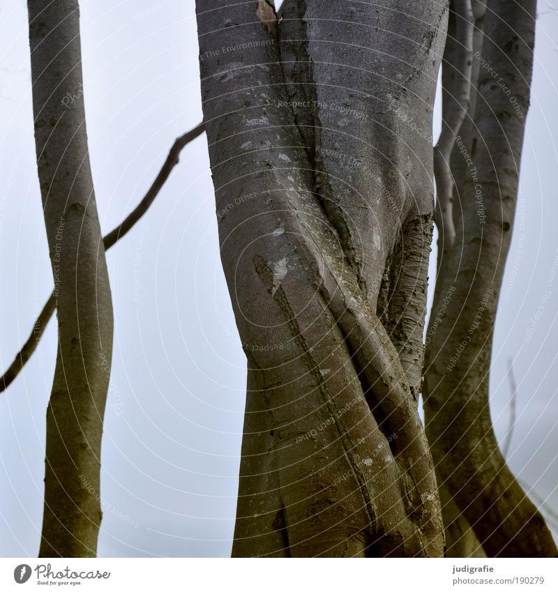 Verschlungen Umwelt Natur Pflanze Baum Küste Ostsee alt Umarmen natürlich Partnerschaft Buche Baumrinde Farbfoto Außenaufnahme Tag