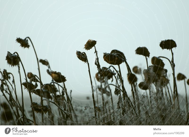 Warten Umwelt Natur Landschaft Pflanze Himmel Herbst Winter Klima Klimawandel Wetter Blume Sonnenblume Feld alt verblüht dehydrieren dunkel kalt natürlich grau