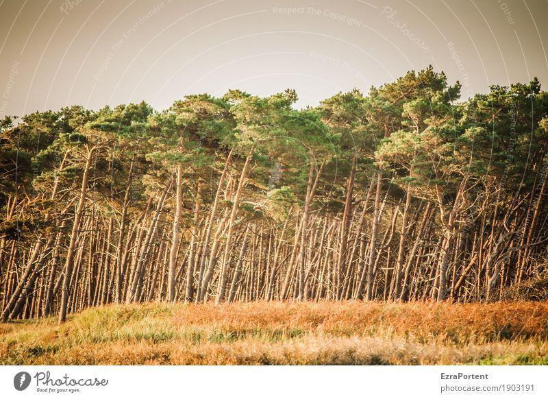 | Umwelt Natur Landschaft Klima Baum Gras Wald natürlich braun grün Kiefer mehrere Baumstamm Holz Farbfoto Außenaufnahme Menschenleer Tag