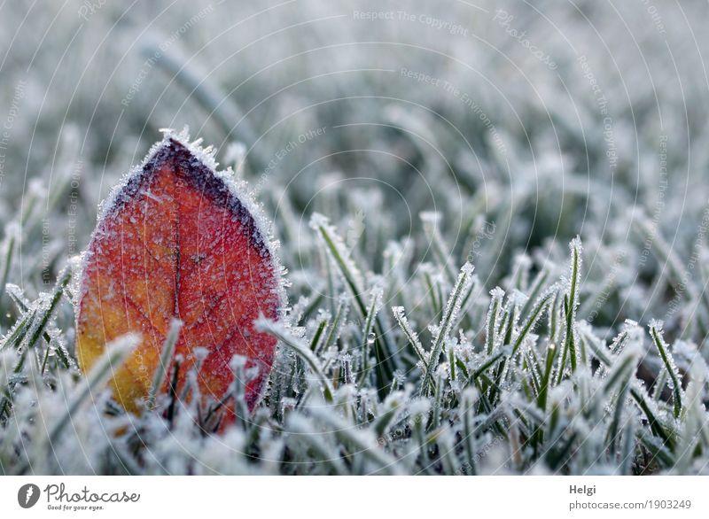 kalt in Deutschland Umwelt Natur Pflanze Winter Eis Frost Gras Blatt Garten frieren stehen dehydrieren außergewöhnlich schön einzigartig natürlich gelb grün rot