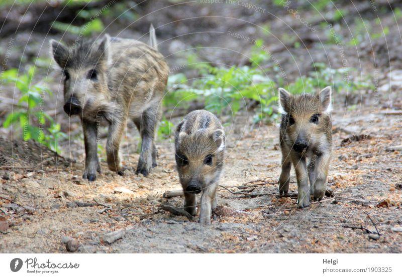 Freiheit ... genießen Umwelt Natur Pflanze Tier Frühling Schönes Wetter Wildpflanze Wald Wildtier Wildschwein Frischling 3 Bewegung laufen Blick authentisch