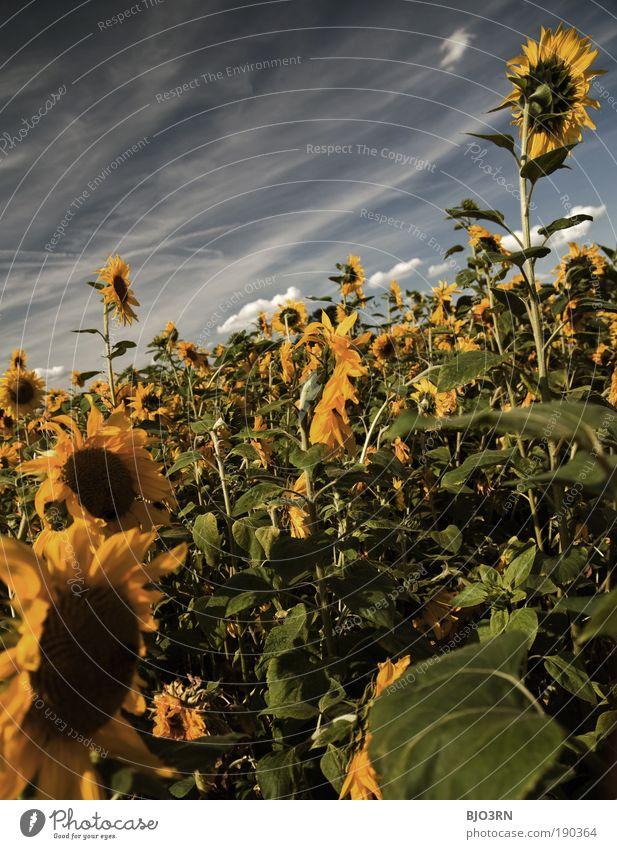 Ein Tag im Sommer Umwelt Natur Himmel Wolken Schönes Wetter Pflanze Blatt Blüte Grünpflanze Nutzpflanze Sonnenblume Blume Wiese Feld ästhetisch Duft frisch