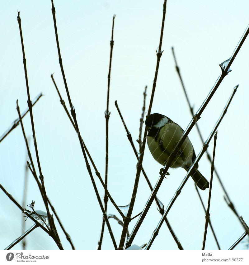 Meisenwinter 09/10 Umwelt Natur Tier Winter Pflanze Sträucher Ast Vogel Kohlmeise hocken sitzen frei kalt klein natürlich Neugier niedlich Stimmung geduldig