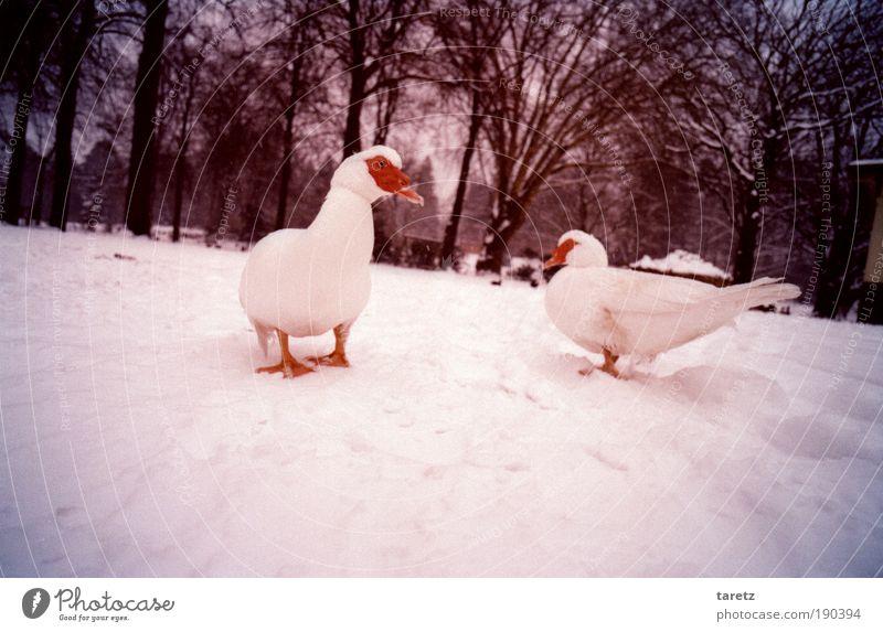 Weiße Warzenenten auf weißem Grund Natur Baum rot Winter Tier kalt Schnee Park Eis Vogel Umwelt Suche Frost einfach violett