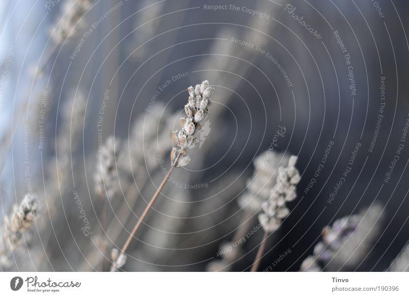 was vom Sommer übrig blieb Natur blau Pflanze Winter Herbst Sträucher wild Stengel trocken vertrocknet Lavendel verblüht getrocknet Heilpflanzen Nutzpflanze