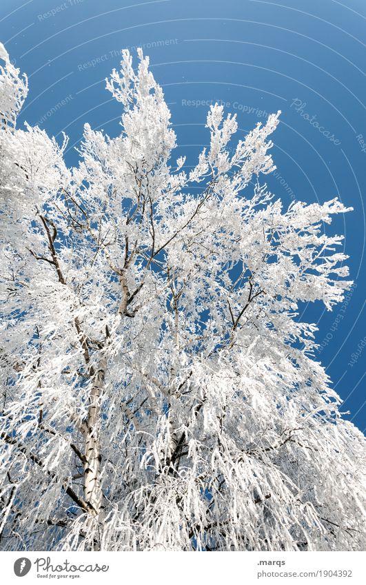 Eis Ausflug Natur Pflanze Wolkenloser Himmel Winter Schönes Wetter Frost Schnee Birke groß kalt blau weiß Stimmung Wandel & Veränderung Farbfoto Außenaufnahme