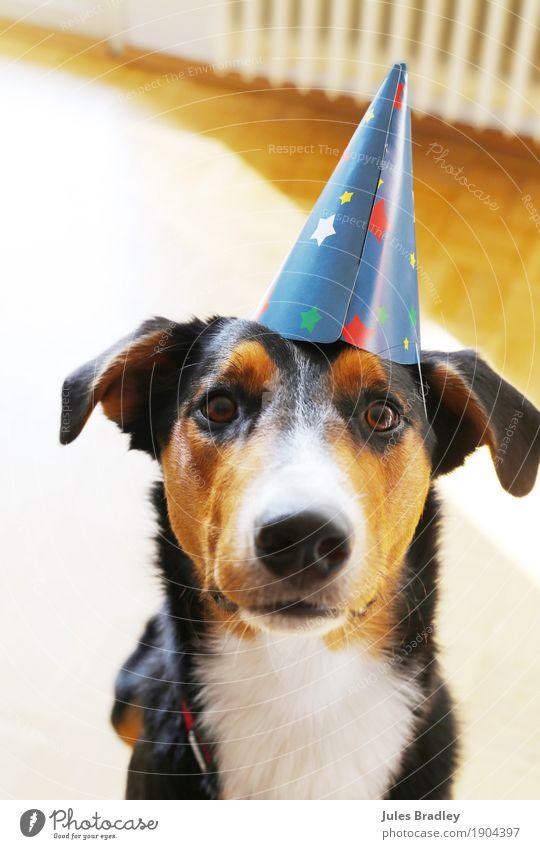 Partydog Freude Feste & Feiern Geburtstag Hut Tier Hund Tiergesicht 1 Blick braun mehrfarbig schwarz weiß Neugier Farbfoto Innenaufnahme Tierporträt