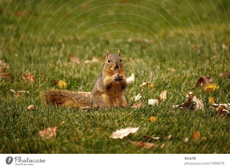 Wer stört die Mahlzeit auf der Wiese? Natur Blatt Tier Essen Herbst Gras klein Garten Park Wildtier sitzen USA Schönes Wetter niedlich Neugier